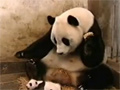 Sneezing Baby Panda video