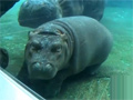 Cute Baby Hippo in San Diego Zoo video