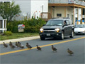Ducks Crossing the Road video