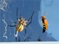 Garden Spider vs. Giant Wasp video