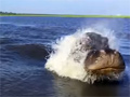 Hippo Swam So Fast on Chobe River video