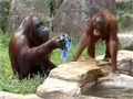 Orangutan Cools Himself Like Human video