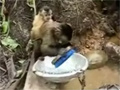Putting a Monkey to Work video