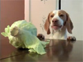 Dog Steal Cabbage video