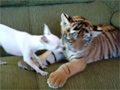 Tiger Cub Playing with a Dog video