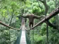 Gibbon Walks the Tight Road video